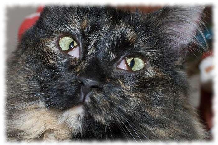 третье веко у кошки фото симптомы лечение