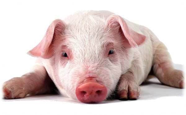 заболевания поросят - болезни свиней и профилактика и лечение заболеваний