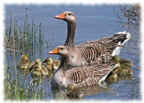 корм для гусей и уток - содержание водоплавающих птиц