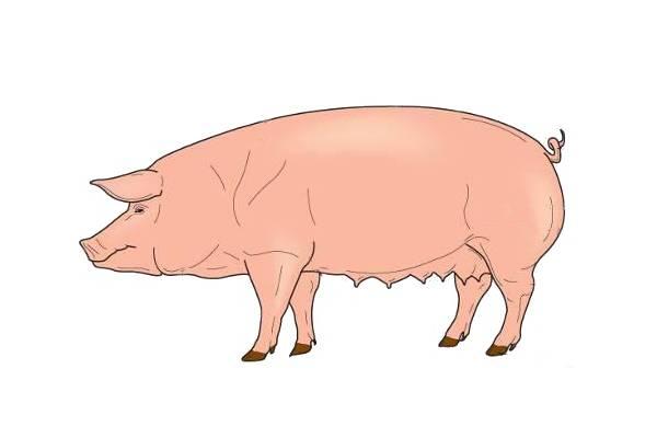 фото строение тела свиньи