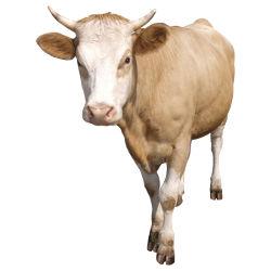 рубрика крупный рогатый скот