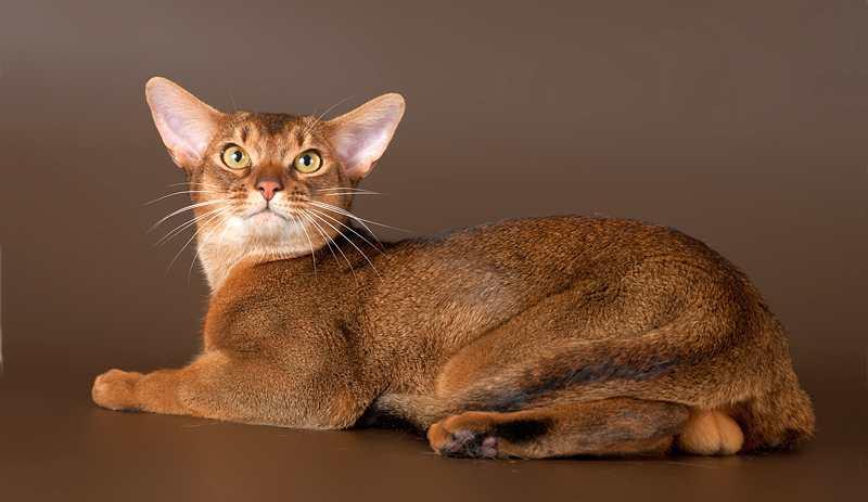 порода абиссинский кот фото