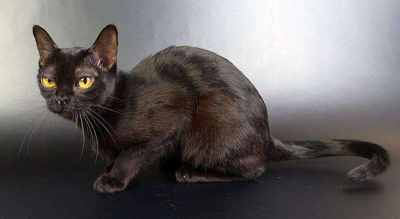 бомбейская порода кошек фото уход и содержание
