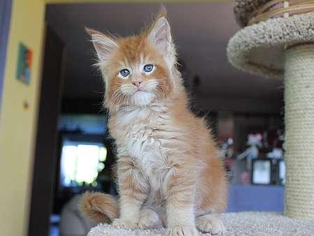 кот мейн-кун фото (мэйнкун мальчик 12 недель)