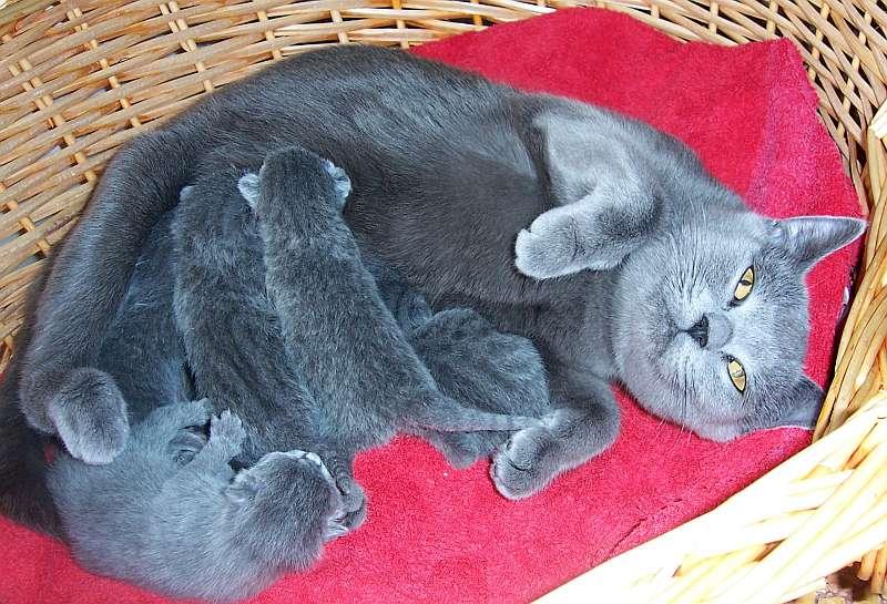 шартрез кошка с котятами фотография