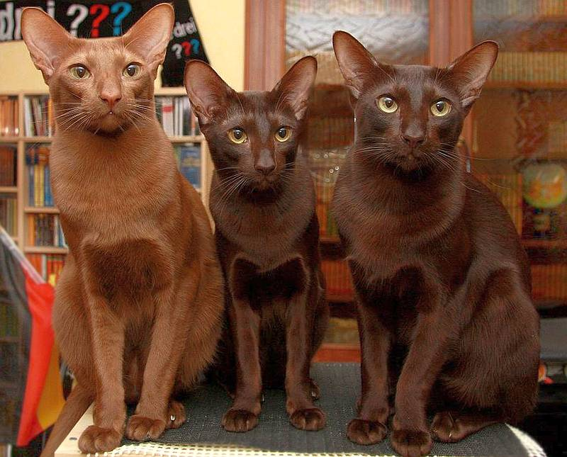 фото кошки гавана броун