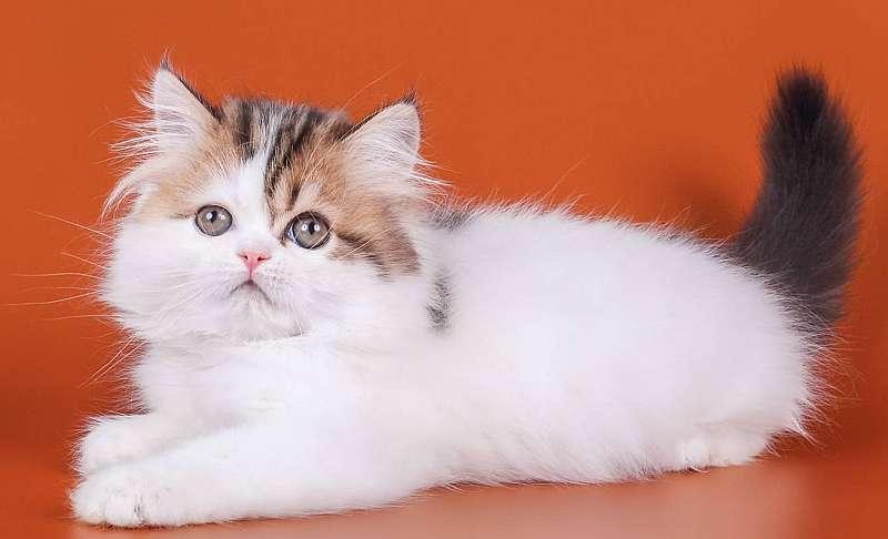 хайленд страйт котенок фото