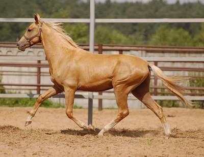 описание и фото лошади ахалтекинской породы