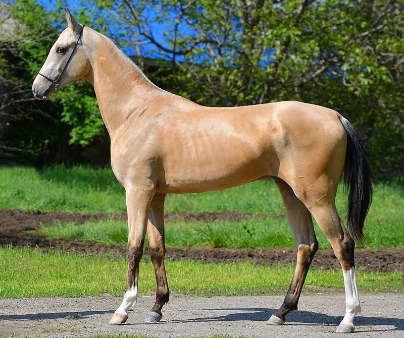 экстерьер ахалтекинской породы лошадей