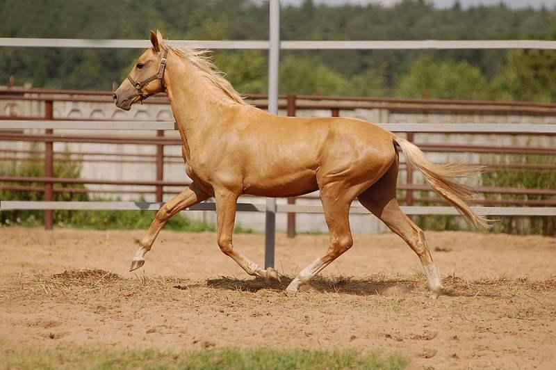 описание и фото ахалтекинской породы лошадей
