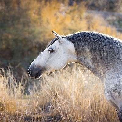 портрет андалузской лошади - горбоносая голова андулуза