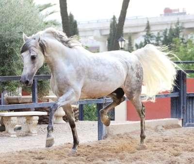 фото андалузского коня и описание