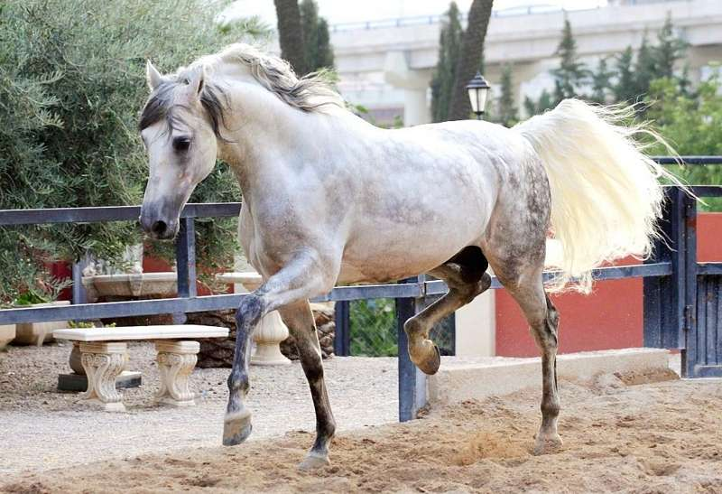 андалузский конь фото цена и описание