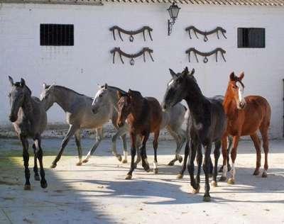 андалузские жеребцы фото и характеристика