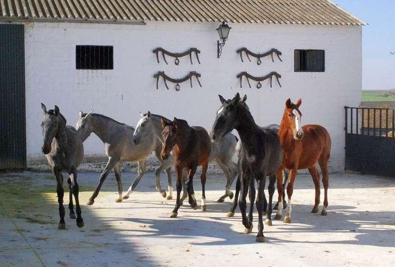 стадо андалузских жеребцов