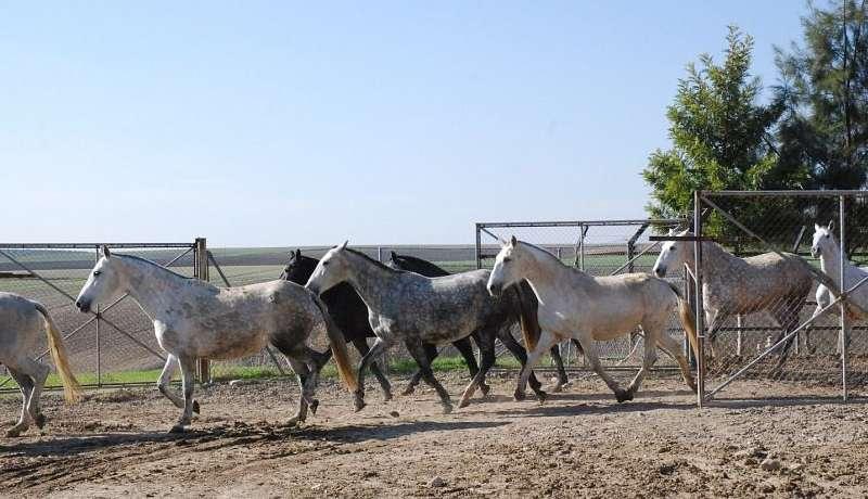 выгул андалузских лошадей