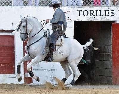 фото андалузской лошади на корриде