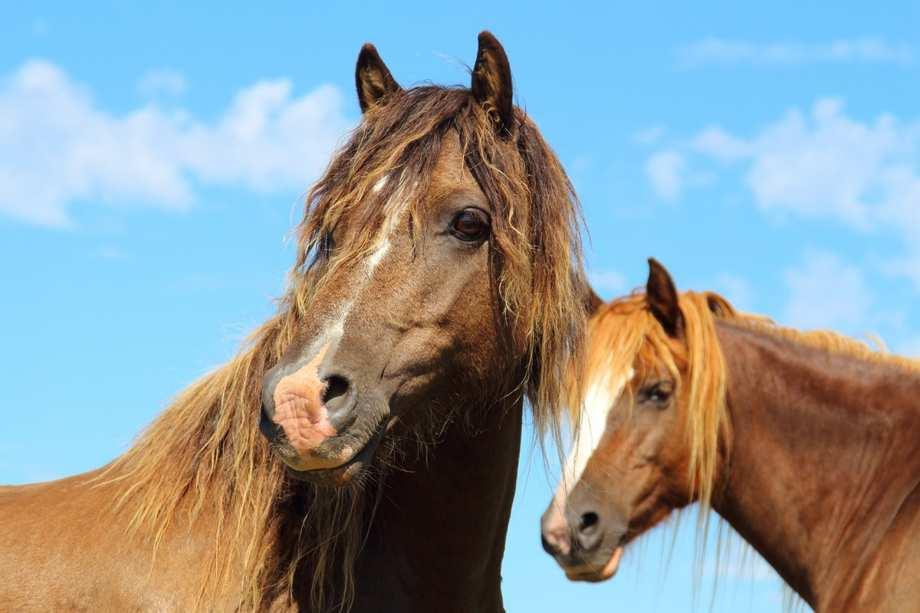 лошади это животные относящиеся к отряду непарнокопытных
