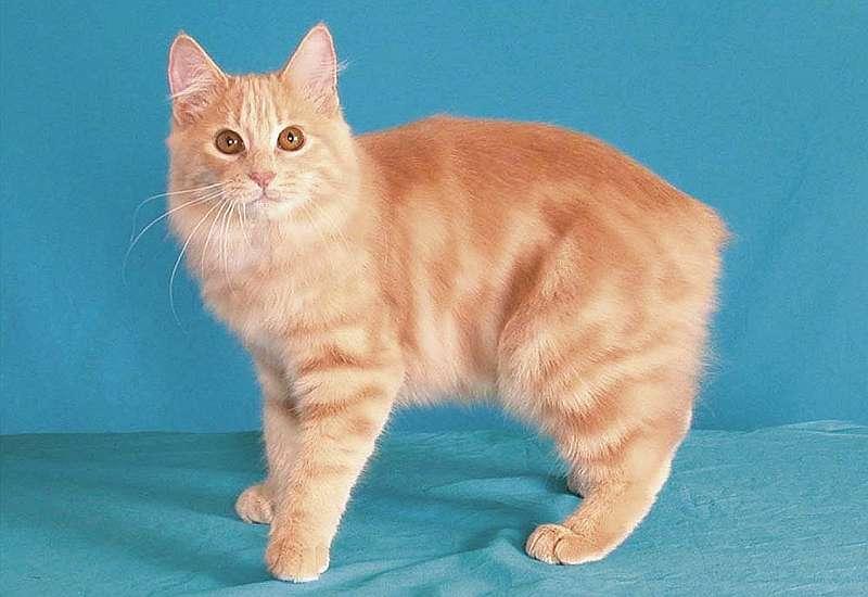 кимрик кошка фото и описание