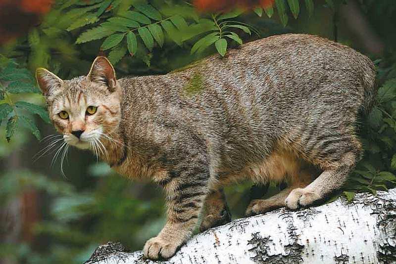 порода кошек пикси боб кот фото