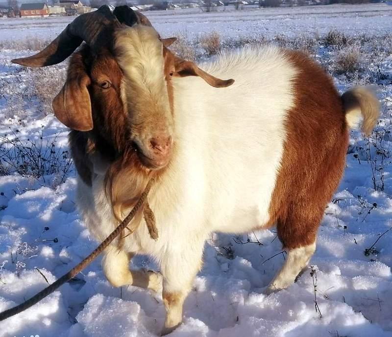 козы мясного направления порода бурская