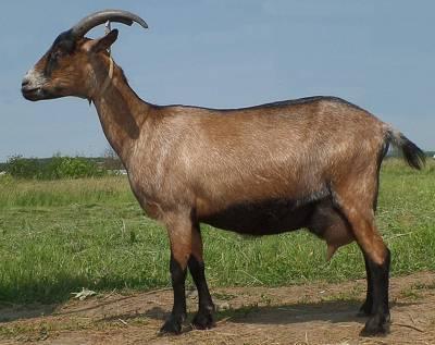 коза альпийская фото и экстерьер породы