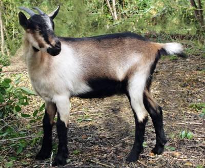 альпийская коза фото экстерьера породы