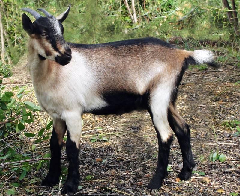 альпийская коза экстерьер породы и описание