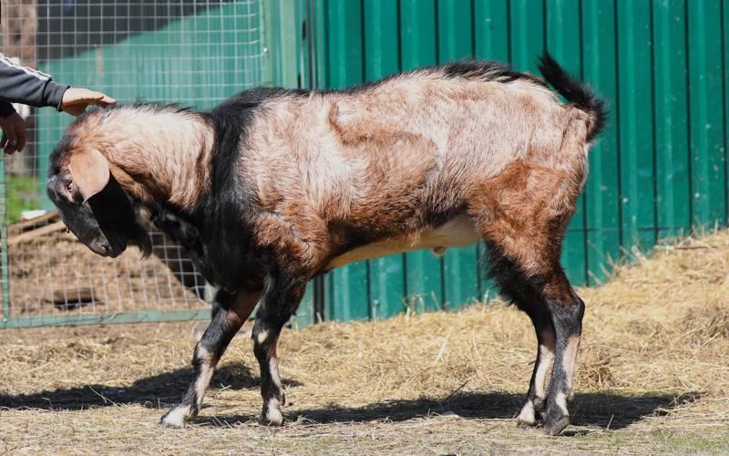 нубийская коза фотография