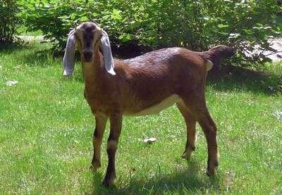 племенная нубийская коза