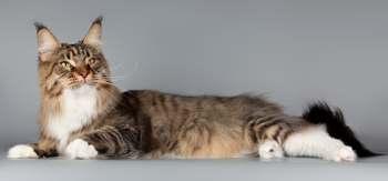 описание кошки мейн кун фото