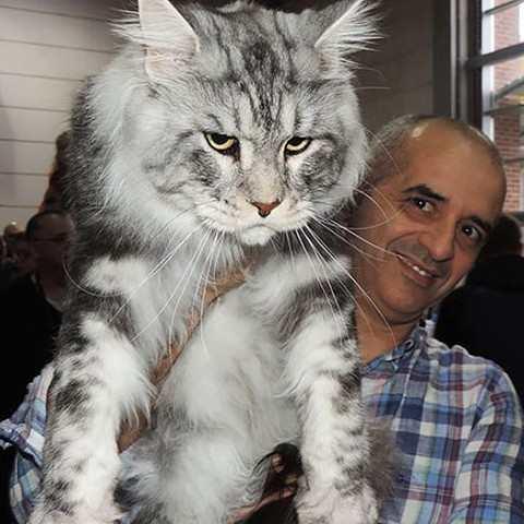 больших мейн-кун фото кошек