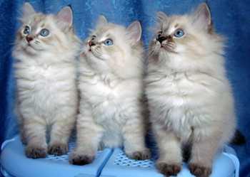 порода невские маскарадные котята фото