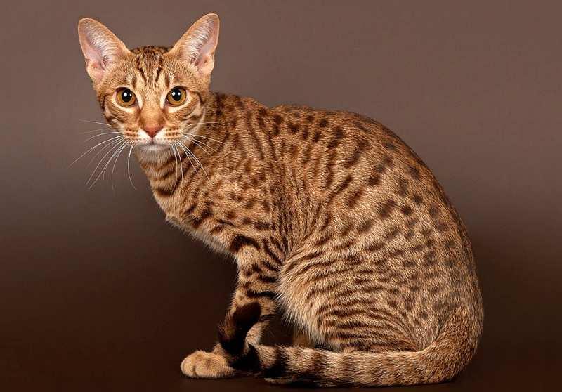 стандарт окраса оцикет кошки фото