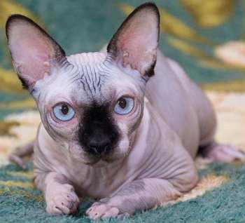 фото кота канадский сфинкс и характеристика породы