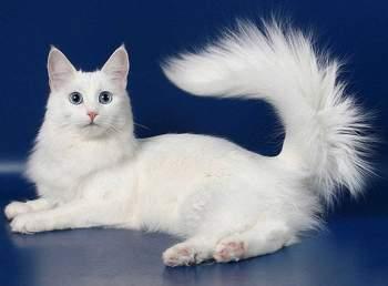 ангорская кошка фото цена и описание