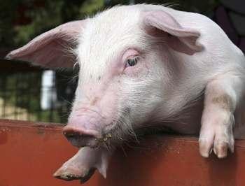 расстройства пищеварения у свиней - понос у поросят