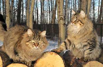 сибирские кошки фото и описание