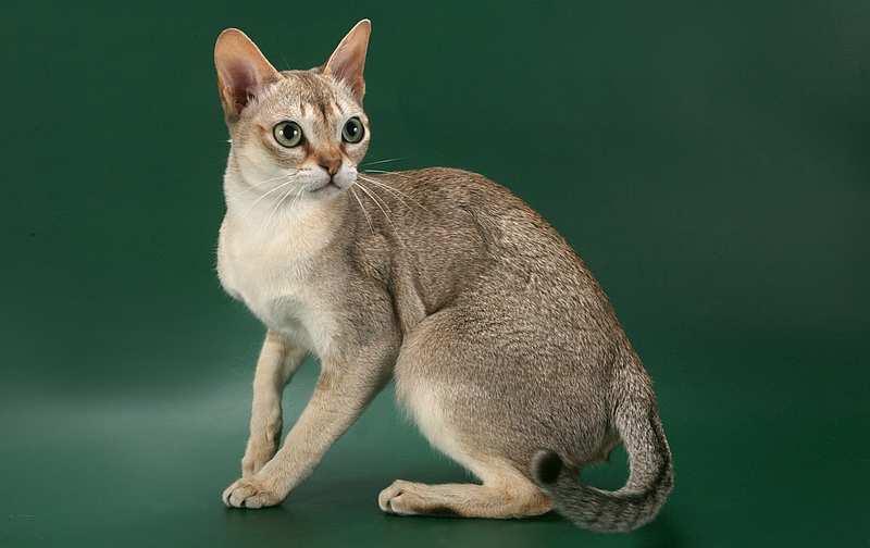 сингапурская кошка описание и фото кошки сингапура