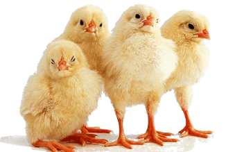цыплята уход и содержание