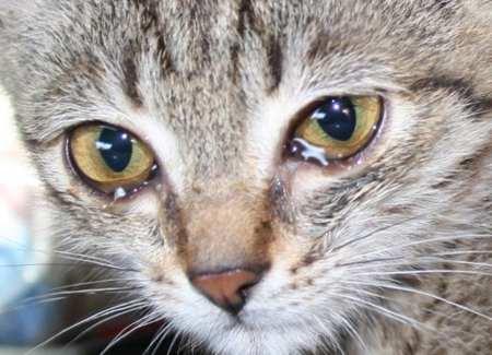 кот чихает и слезятся глаза