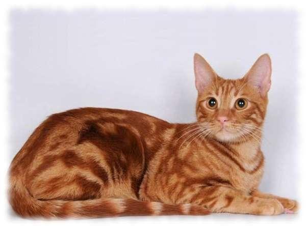 Анатолийская кошка фото