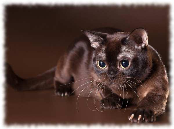 бурманская кошка фото