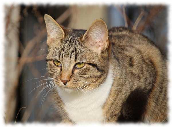 европейская порода кошек фото - кельтская кошка