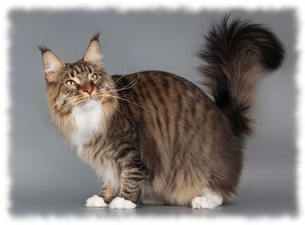 как выглядят кошки мейн кун фото
