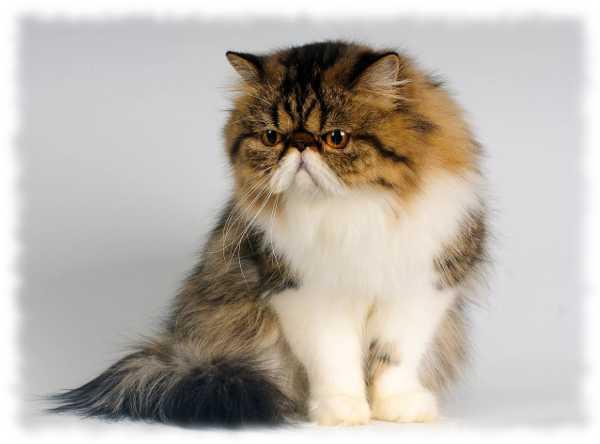 персы или персидская кошка фото описание