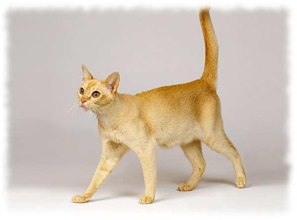 цейлонская кошка фото и описание