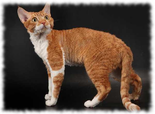 девон рекс кошки фото и описание