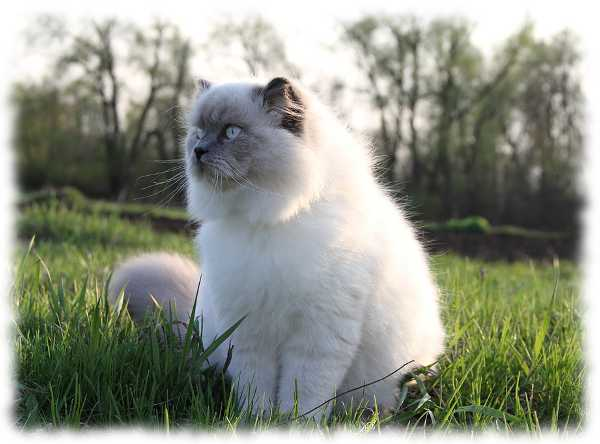 гималаи кошка фото