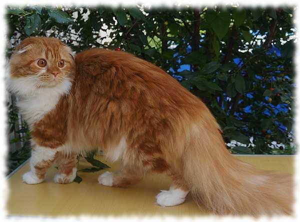 кошка хайленд фолд фото и описание